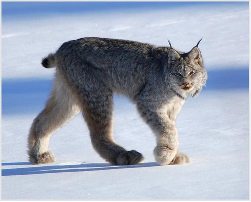 The Arctic Animals - Lessons - Tes Teach
