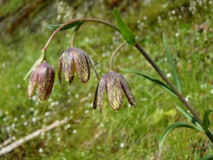 http://appliedeco.org/images/gallery/fritillaria-affinis-2.jpg/image_preview